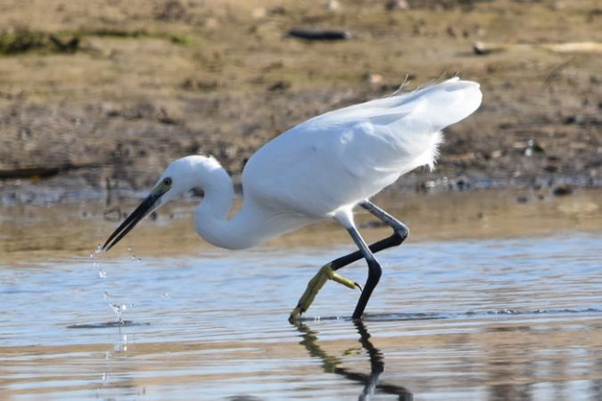 Little Egret  - Joan Beneyto