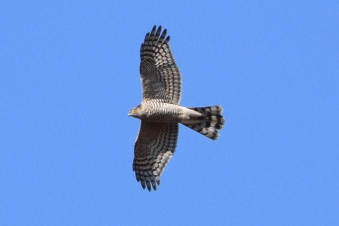 Eurasian Sparrowhawk  - Joan Beneyto