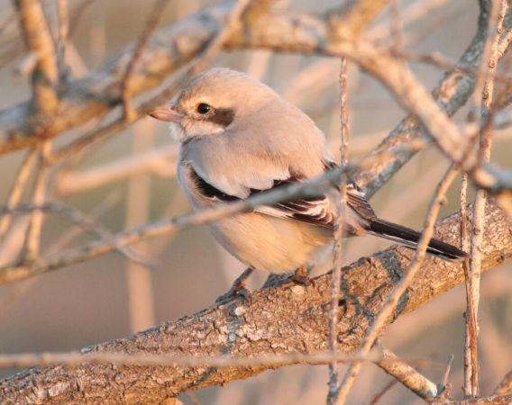 Steppe Grey Shrike  - Vittorio Pedrocchi