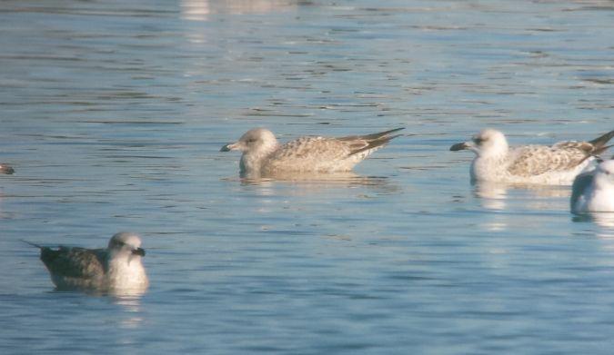 European Herring Gull  - Marc Illa Llobet