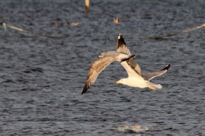 European Herring Gull  - Quim Minoves