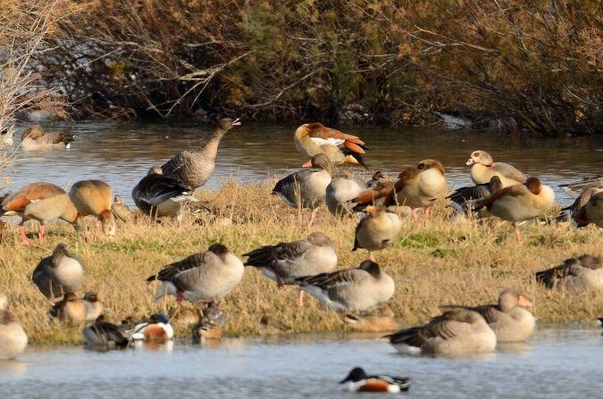 Pink-footed Goose  - Sergi Torné