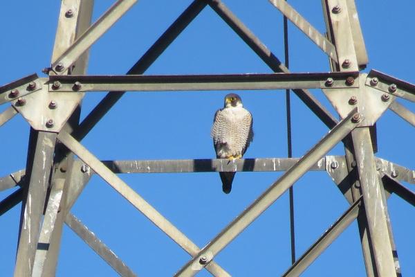 Peregrine Falcon  - Xesco Puigdomenech
