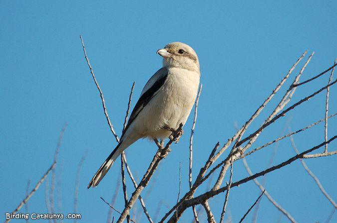 Steppe Grey Shrike  - Enric Pàmies Pallisé