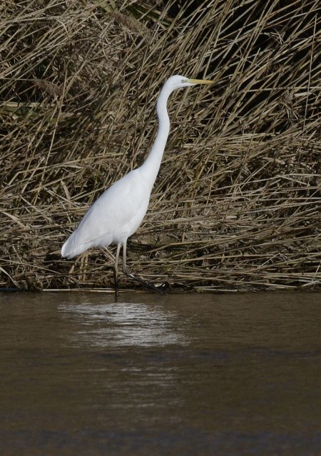 Great Egret  - Enric Badosa