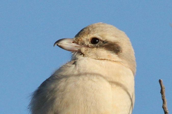 Steppe Grey Shrike  - Miquel Àngel Garcia ReÀdigos