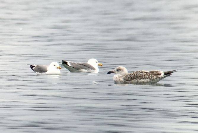 Great Black-backed Gull  - Ramon Prat Espelt