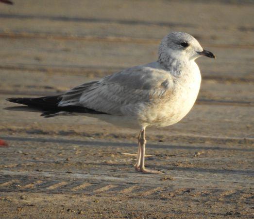 Common Gull  - Raül Aymí