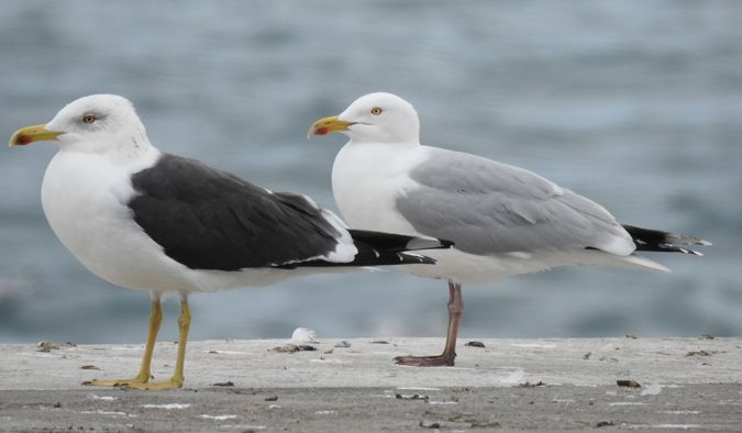 European Herring Gull  - Raül Aymí