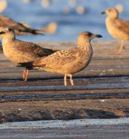 European Herring Gull  - Camilo Albert Fernández