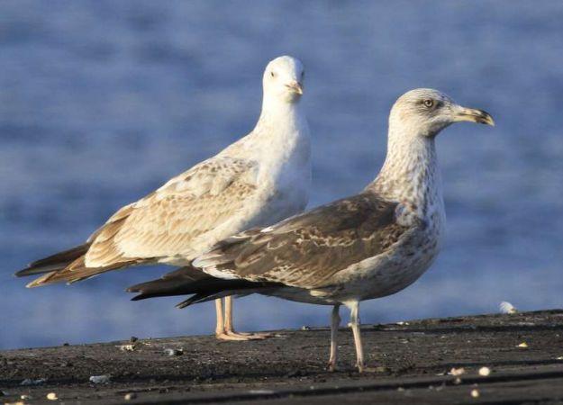 Lesser Black-backed Gull  - Camilo Albert Fernández