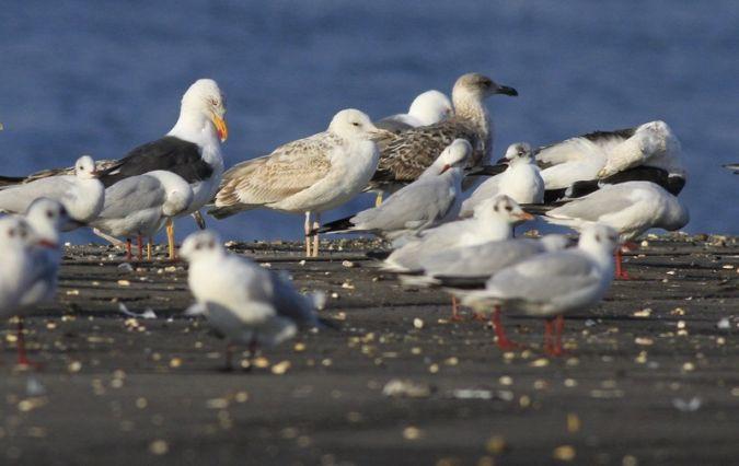 Black-headed Gull  - Camilo Albert Fernández