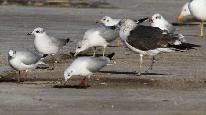 Common Gull  - Camilo Albert Fernández