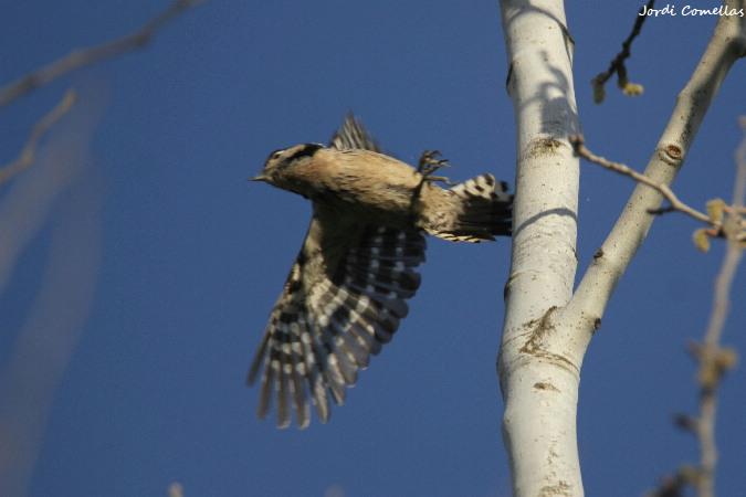 Lesser Spotted Woodpecker  - Jordi Comellas Novell