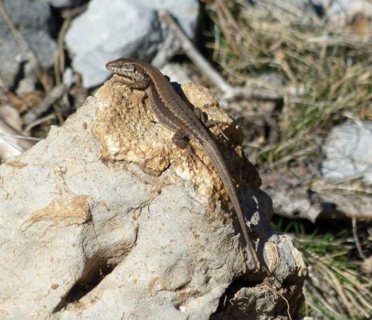 Common Wall Lizard  - Joan Rodríguez