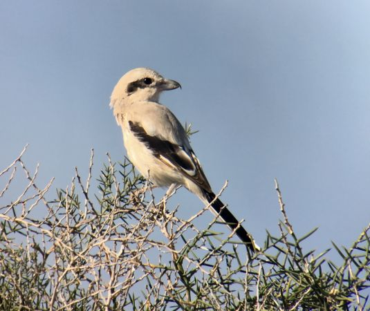 Steppe Grey Shrike  - Ramon Prat Espelt