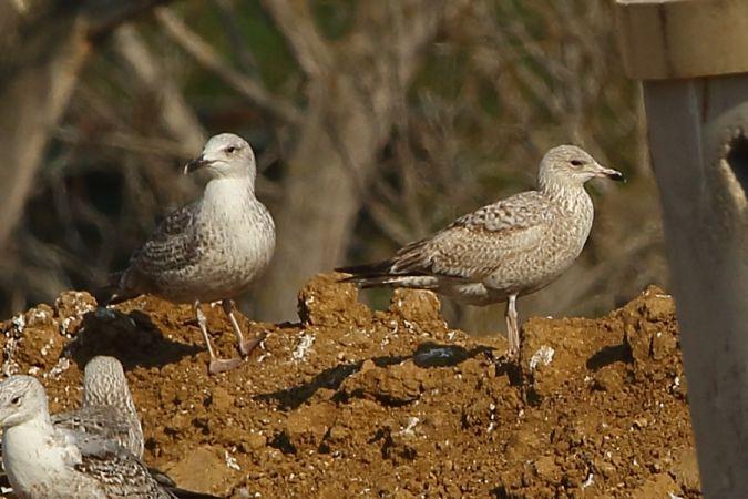 European Herring Gull  - Joan Goy