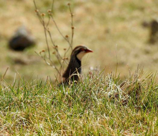 Red-legged Partridge  - Maria Serra