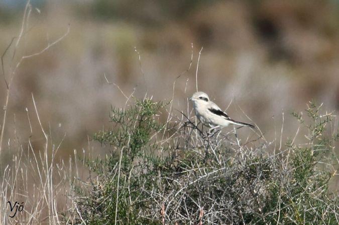 Steppe Grey Shrike  - Lluís Vilamajó