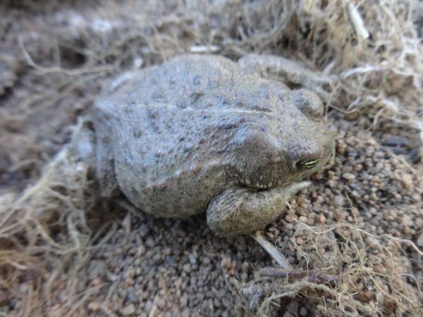Natterjack Toad  - Javier Romera Cabrera
