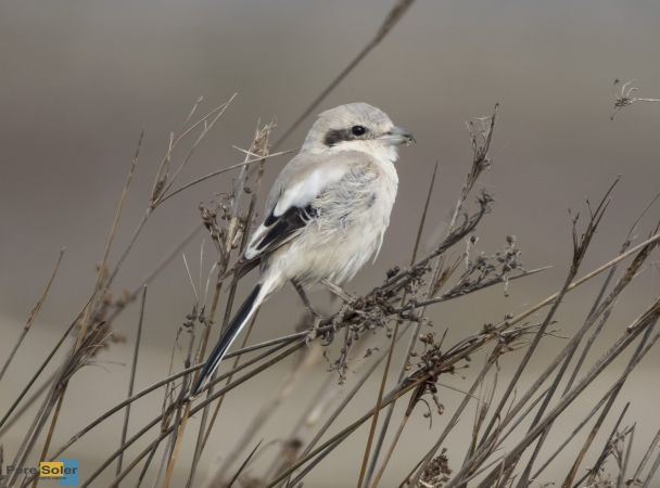 Steppe Grey Shrike  - Pere Soler