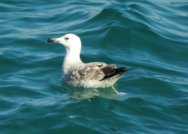 Caspian Gull  - Pau Garcia Campderròs