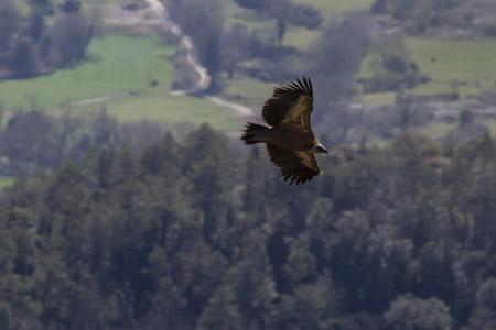 Griffon Vulture  - Joan Culí
