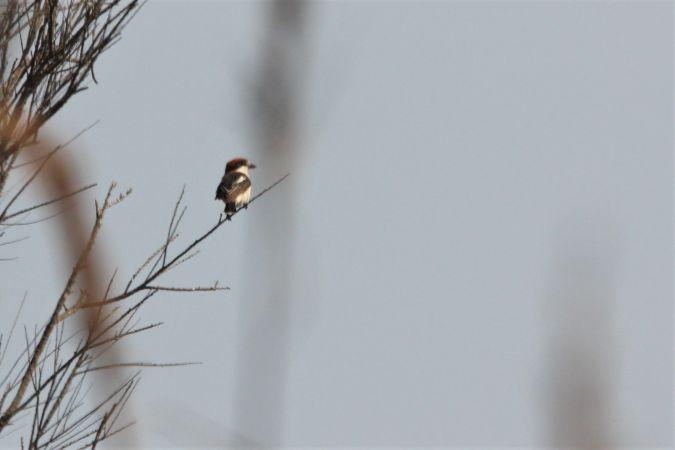 Woodchat Shrike (L.s.badius)  - Quim Minoves