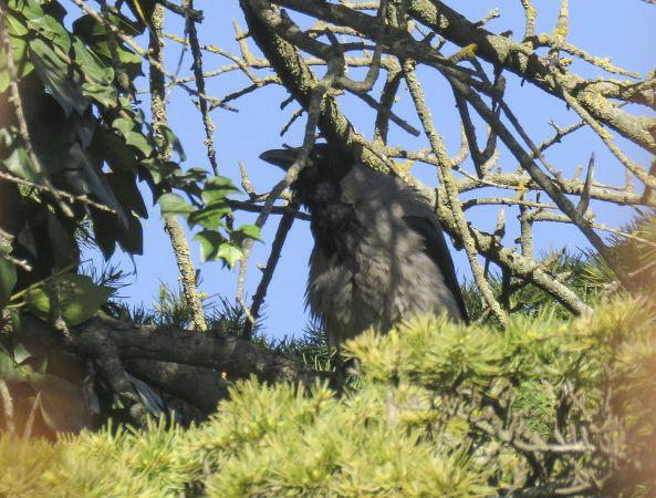 Hooded Crow  - Carles Martorell Gendra