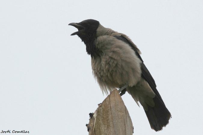 Hooded Crow  - Jordi Comellas Novell