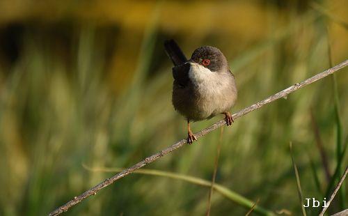 Sardinian Warbler  - Jean Bisetti