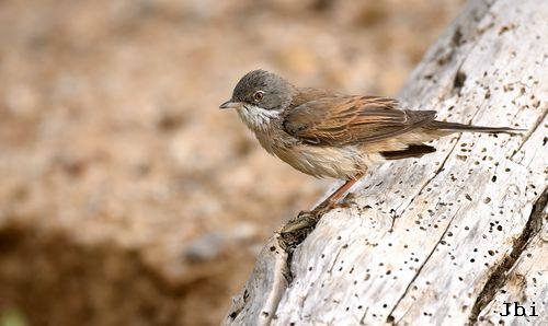 Common Whitethroat  - Jean Bisetti