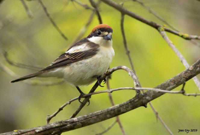 Woodchat Shrike (L.s.badius)  - Joan Goy