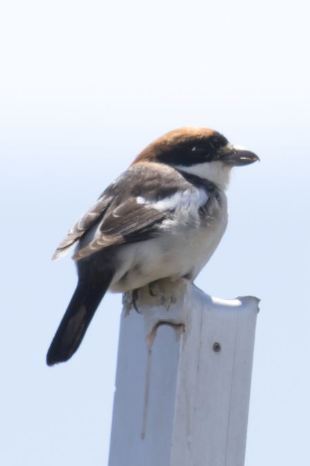 Woodchat Shrike (L.s.badius)  - Mayca Martí