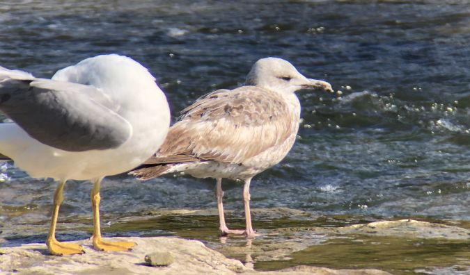 Caspian Gull  - Pere Baucells Colomer