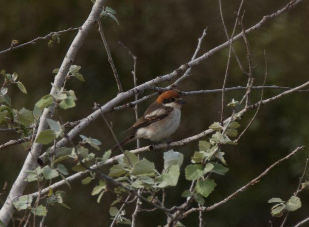 Woodchat Shrike (L.s.badius)
