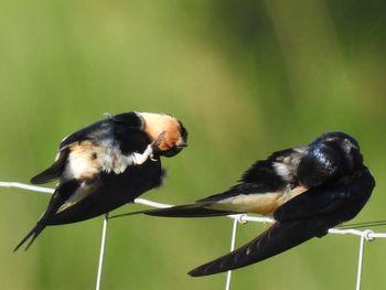 House Martin x Barn Swallow  - Carlos Alvarez-Cros
