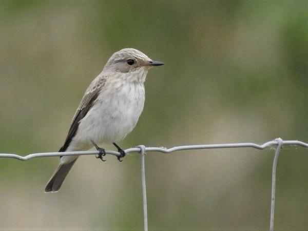 Balearic Spotted Flycatcher  - Manel Alvarez
