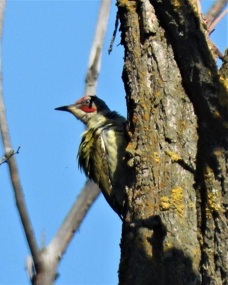 European Green Woodpecker  - Joan Safont