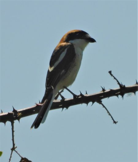 Woodchat Shrike  - Joan Safont