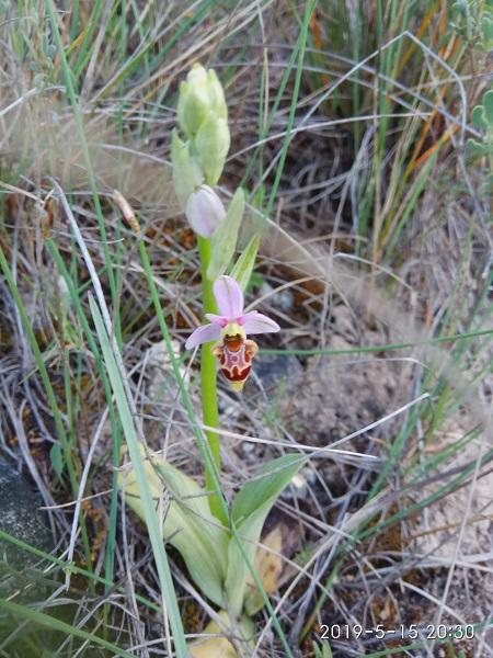 Ophrys scolopax  - Francesc Guasch