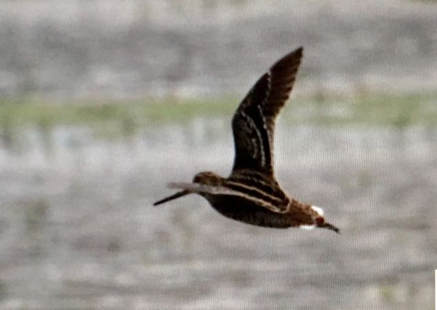 Great Snipe  - Miquel Casas