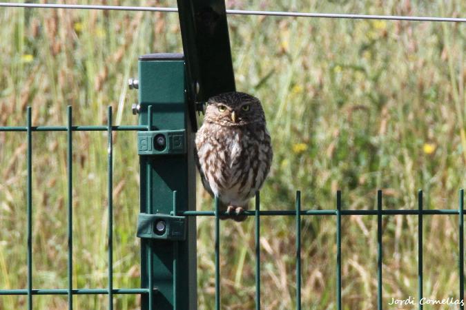 Little Owl  - Jordi Comellas Novell