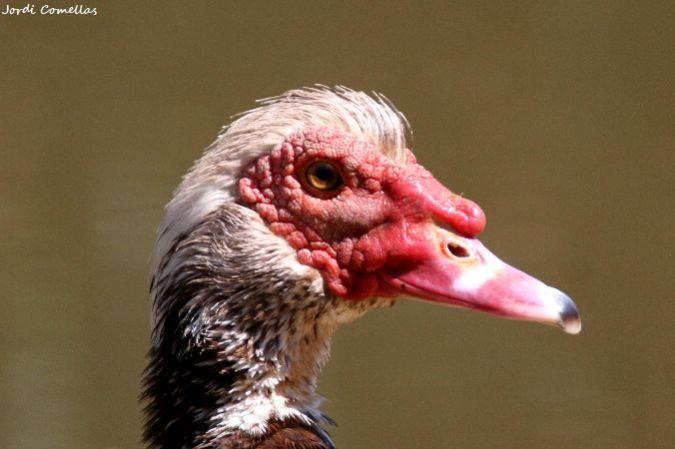Domestic Muscovy Duck  - Jordi Comellas Novell