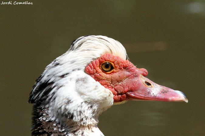 Pato criollo doméstico  - Jordi Comellas Novell