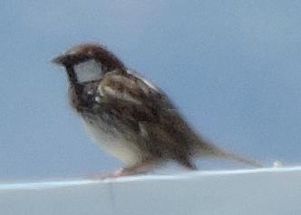 Spanish Sparrow  - Màrius Domingo