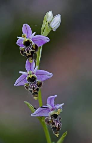Ophrys scolopax  - Marc Solà