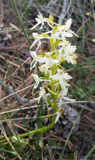 Platanthera bifolia  - Jordi Castilló Carretero