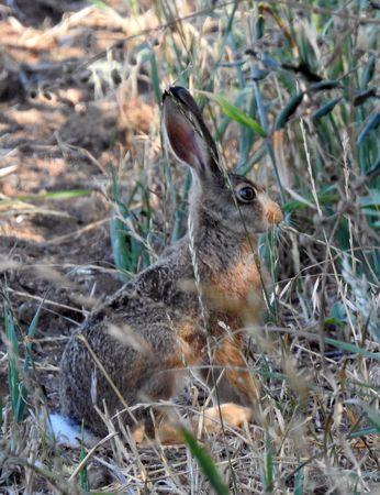 European Hare  - Carlos Alvarez-Cros