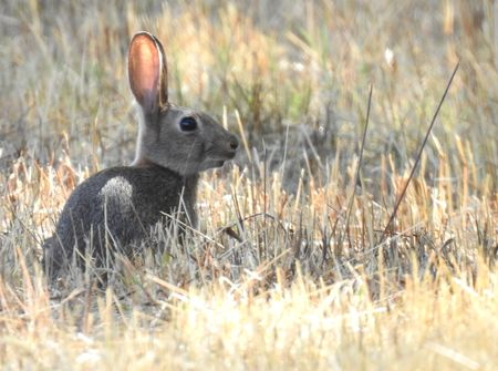 European Rabbit  - Carlos Alvarez-Cros